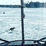 A @USCGNortheast Cutter spotted a COYOTE running on a frozen #BostonHarbor. http://t.co/8beqnQNnsG