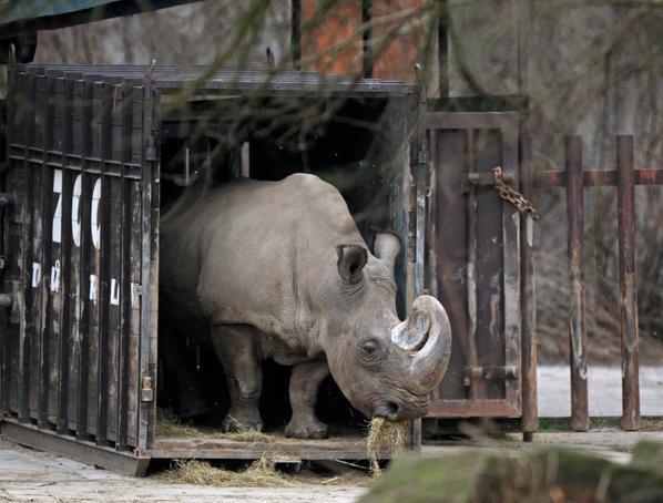 Rinoceronte-branco-do-norte está à beira da extinção; 1 dos últimos machos reprodutores morreu http://t.co/5QiOGN21MG http://t.co/yEeYUNeEI0