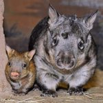 Happy (southern hairy nosed) wombat day! #WombatDay http://t.co/02TYsZKeJM