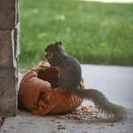 Need a laugh this morning? This squirrel got caught eating a whole pumpkin! http://t.co/Q91AUQS6jS http://t.co/gQOhYqx4nM