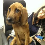 Hey @nenshi RT? Found dog 4 month old hound girl. @ crowfoot vet hospital in the NW #lostpetyyc #yyc http://t.co/cT8Q9Mdbg4