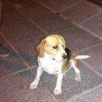 Encontré este perro beagle en Santa Lucia, por favor dar rt así encontramos el dueño http://t.co/pkqoihQZV5