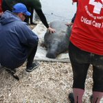 10 ft, 1000lb manatee heading to @SeaWorldTexas latest on rescue plus how hes doing live @KHOU at 5 #khou11 http://t.co/Naibzbvk04