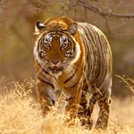 With #Nepal poachers on the prowl, tiger numbers come down in #India http://t.co/7jYVo7Iqtu http://t.co/Xv8w5ehWBs