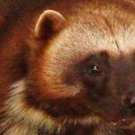 Canadas laws to protect endangered species are failing, study finds http://t.co/khu0EQhJWh http://t.co/epWcOxoosp