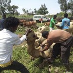 My retro2014: #Eritrea: village of Adi Gedesho during a livestock anti-parasite campaign. http://t.co/lyKqZ0bx3b