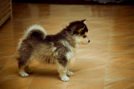 "This is a ""Pomsky"" - A cross between a pomeranian and a husky. They stay about this size their entire life. http://t.co/OfyKzOlond"