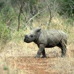 Les premiers pas d'un bébé rhinocéros au zoo de Copenhague http://t.co/Ke87ErCP6z http://t.co/XHok5HInPB
