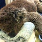 Pawsitive news as Jeremy the koala returns to the wild http://t.co/wgCNIG6WqO http://t.co/a5EjVavsmq