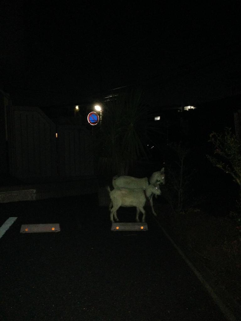 (1)何食わぬ顔で歩道を歩いてたヤギが (2)人の家の生垣をバリバリ食べ始める事案が発生 http://t.co/fMYFGm8NW0