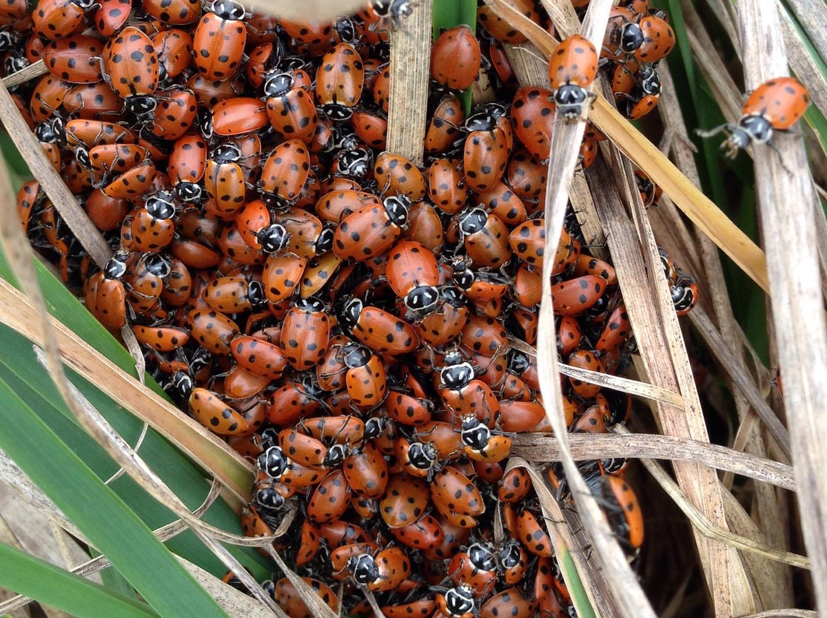 Tens of thousands of ladybugs awoke from winter hibernation Wed. at North Abbey Creek Natural Area near Forest Park. http://t.co/kdF5mXBppX