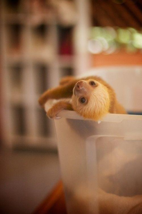 Photo of the day: A seriously cute baby sloth http://t.co/TstW1J3Jtv