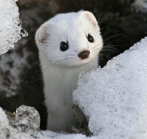 Solitary stoat sitting silently, surrounded by snow. http://t.co/GfzY60NG7y