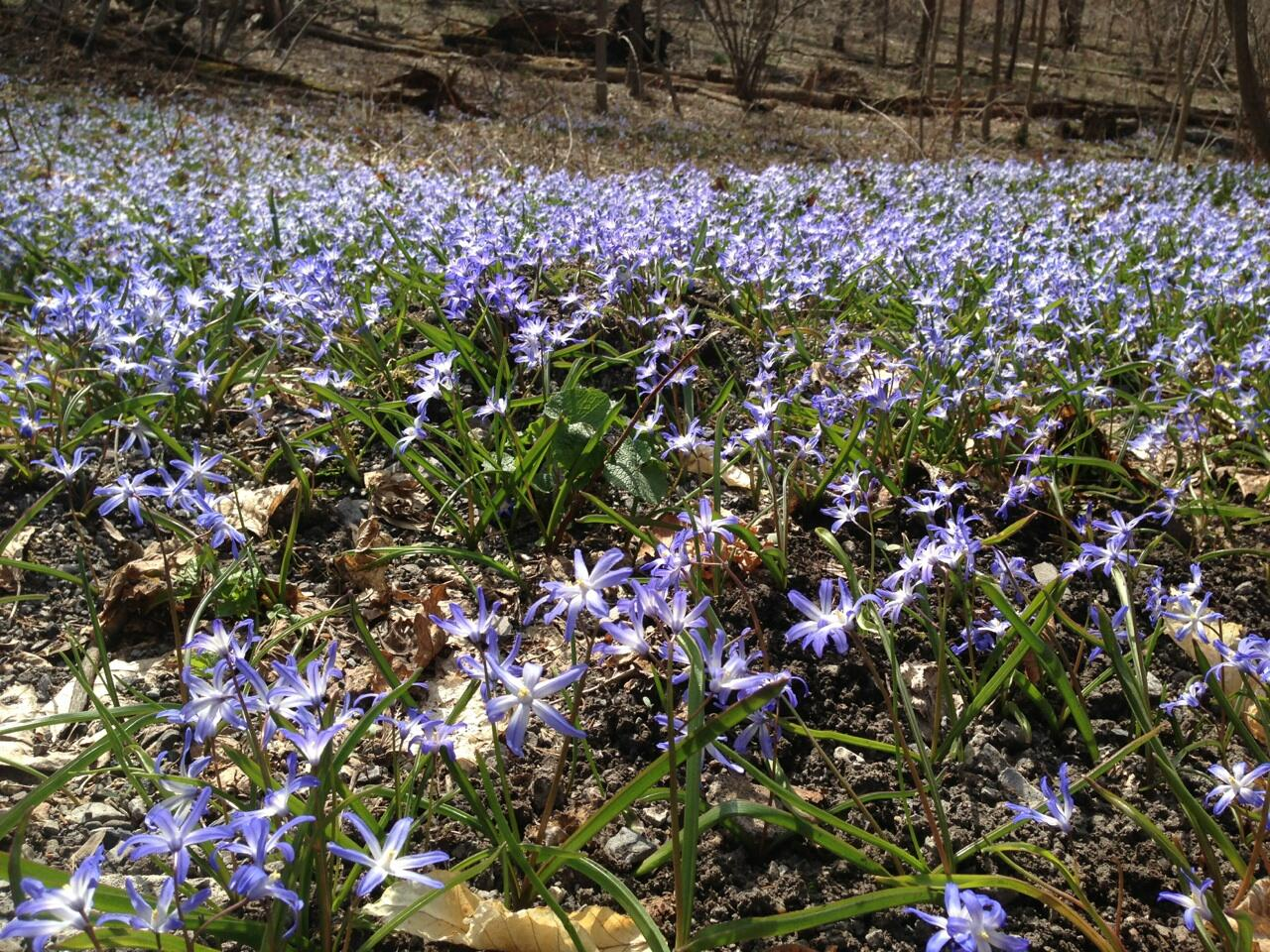 Blue violet beauties cover the grounds at CoSM http://t.co/8ZCzkMprzk