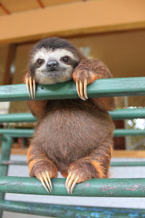 Sloth, chillin' on a fence http://t.co/kEGFaYGuNS