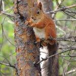 Cheeky little Red Squizzer #Lapland #redsquirrel