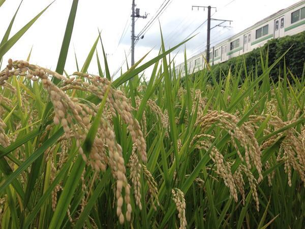 test ツイッターメディア - お米と横浜線  #ここも横浜 https://t.co/9B4ZEd0uak
