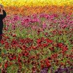 Carlsbad Flower Fields open for business. http://t.co/oFuNX3TFeI http://t.co/JMRu5wspY4