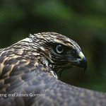 How a hawk hunts http://t.co/cFabIXqMht http://t.co/ads7Hu1LPE