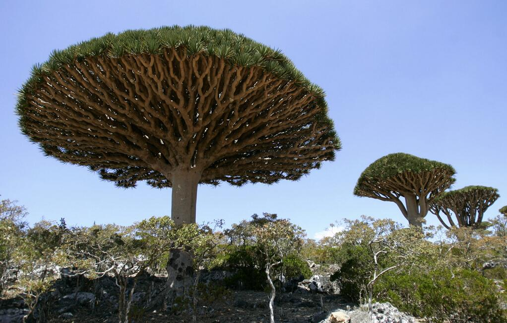 Dragon Blood Trees on Yemen's Socotra Island http://t.co/Kgqxw8oXF2