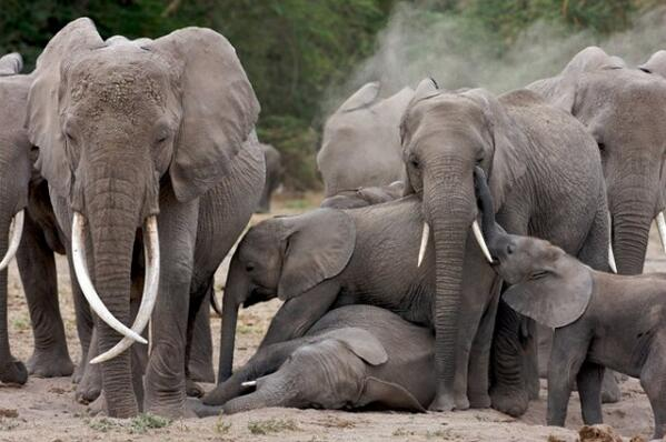 Demonstrations of love by an elephant mother for her calf are truly touching http://t.co/9hCV2zSCMv http://t.co/sw3BSEfMHF