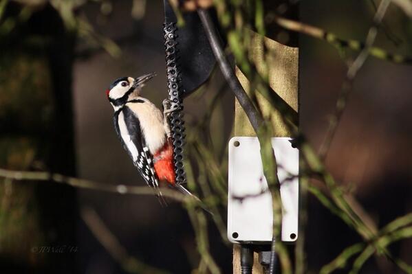 RT @wawlee: @wildlife_uk @RSPBArne Great Spotted Woodpecker at Arne http://t.co/DKxs2oksQm