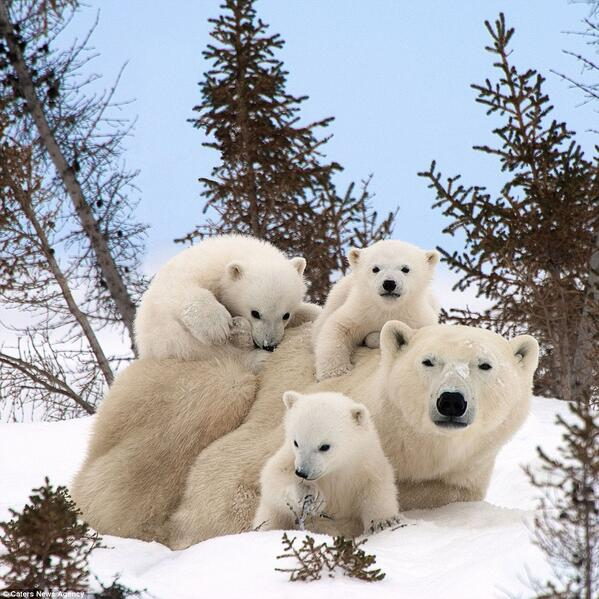 #Polar #bear #cubs keep close 2 mum http://t.co/Yucurh8mwE http://t.co/ZntIanGUN9 RT @HaidaPrincess @DanFMillerArt CC @ivansergei @morgfair