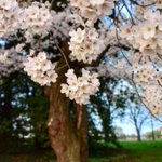 Cherry Blossom Tree Photographed In Washington, #DC #cherryblossom #cherryblossoms #CherryBlossomDC http://t.co/Qs0UNE1KRt