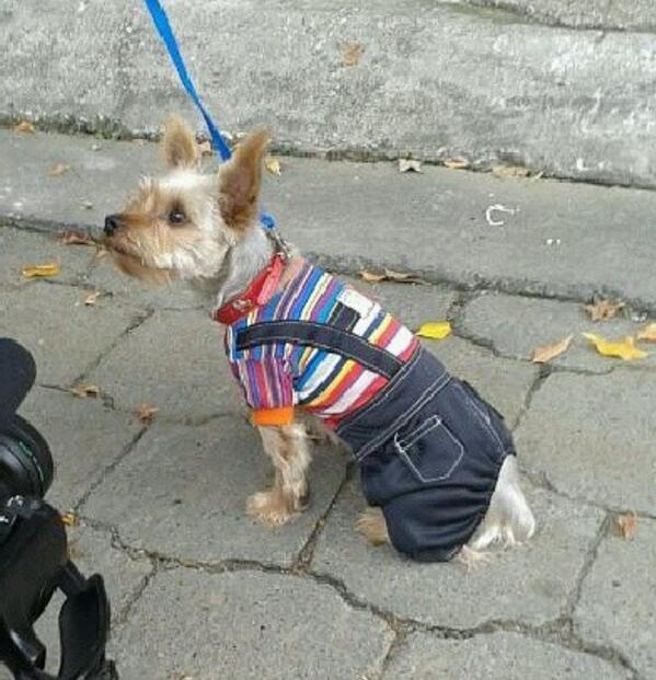 Se perdió mi perro tito, en la 10ma del alborada,ayúdenme a encontrarlo anda con collar rojo y esta con el pelo corto http://t.co/xcHCUncY7u