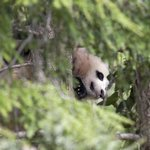 Bao Bao sleeping in a tree this morning. #dc http://t.co/XxUn0EX7Ku