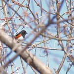 Saw this male Eastern Towhee this morning. My 4th Towhee in 3 days. #spring #migration #Toronto #birding #nature http://t.co/QSOO4sGNgC
