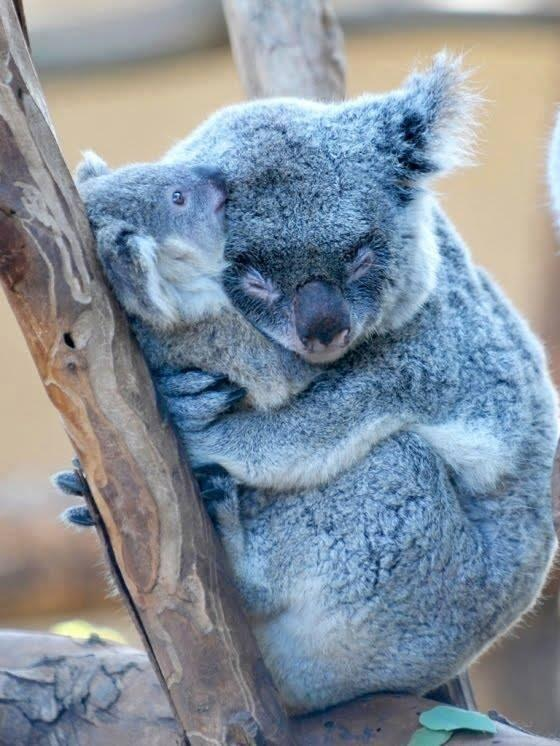 Koalas sleep cuddled in their young to protect them at all times http://t.co/xTcCOwnPoU