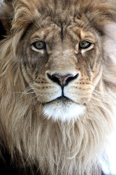Absolutely stunning close-up of a Lion! http://t.co/uDtf4mS69x