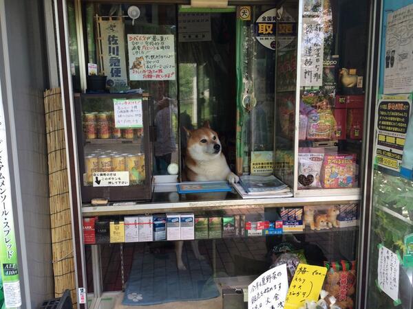 看板犬の撮影なう。武蔵小金井鈴木たばこ店のシバ君。 http://t.co/AIfNOBjA6w