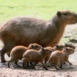 Heads up @N_A_V ....Baby capybara at the Berlin zoo.  And I want to hold one. https://t.co/iq2N9oY8Uk