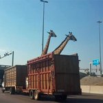 RT @ActionNewsJax: SAD NEWS: Giraffe dies after hitting its head on highway bridge in South Africa: http://t.co/T0SPsiU63z http://t.co/TYjGOiO5Bn