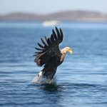 Why are people flocking to Lough Derg in Co. Clare? The Golden Eagle Trust told us why... https://t.co/bzeRR0fXG0 http://t.co/12lfJ78PtP