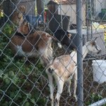 RT @kathrynsotnik: Hyde Park goats certainly making progress eating the ruffage despite being distracted by neighbors dirt bikes. @NECN http://t.co/wmt25JvBS9