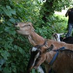 Boston has deployed goats to fight poison ivy in Hyde Park http://t.co/UwEjChHSjj @NotifyBoston http://t.co/b46u7m0b11
