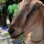RT @BostonGlobe: Boston is using goats in Hyde Park to eat invasive plants, including poison ivy http://t.co/n3ChvoWXLz http://t.co/ZagbyQ1ft2