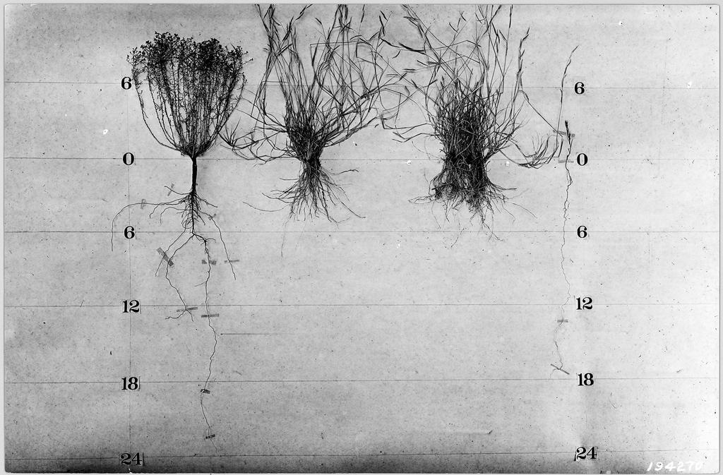 1924 photo studying plant root systems. Snakeweed and Black Grama, which do you think captures more rainfall? http://t.co/hmAQj3n3wV