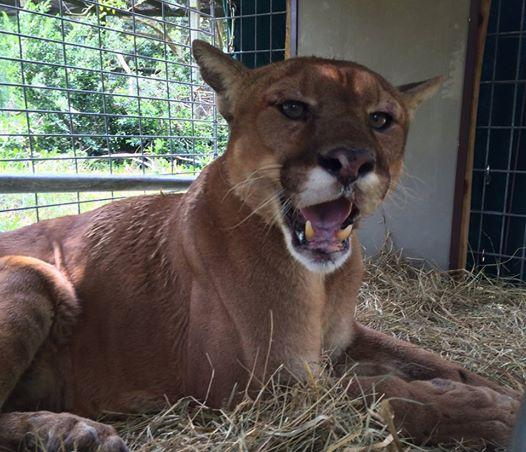 Yesterday Big Cat Rescue rescued a lame cougar in desperate need of medical care.  Read more: http://t.co/UM2gM3mFgH http://t.co/7KNinGzT66