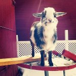 THIS GOAT WANTS YOU TO HAVE A GREAT SEPTEMBER!! http://t.co/UwvRUKBWou