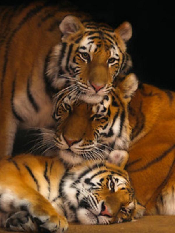 BEAUTiFUL Tigers.#Save them