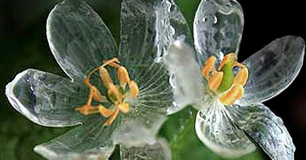 How exquisite, a plant who's petals become transparent in the rain! Diphylleia grayi (Skeleton flower) #flowers http://t.co/yYZAJDWZ9o