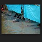 "We all know what goes on under there #taiji dolphin murder is disgusting. #OpKillingBay http://t.co/jYaVnCdRVB"" #tweet4taiji"