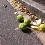 RT @CathBrillet: (2) apprendre des jardiniers du #Jardin des plantes quil sagit dun Oranger des Osages! #ptitbonheurnantais #nantes http://t.co/LWZEkYeU57
