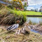 RT @ANUmedia: Here are some fantastic photos, taken by our photographer Stuart Hay, of the #Ducks at #ANU. Very cute! http://t.co/utcefIKVrW