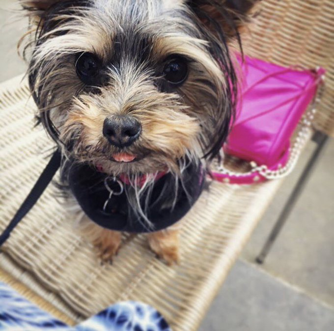 How adorable is this little Tibits visitor? @tota.theyorkie loves our food just as much as we do 🐶