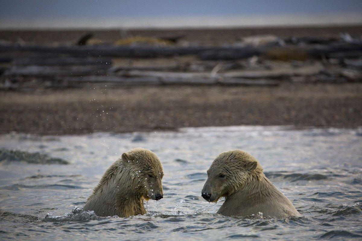 Polar bears' path to decline runs through Alaskan village